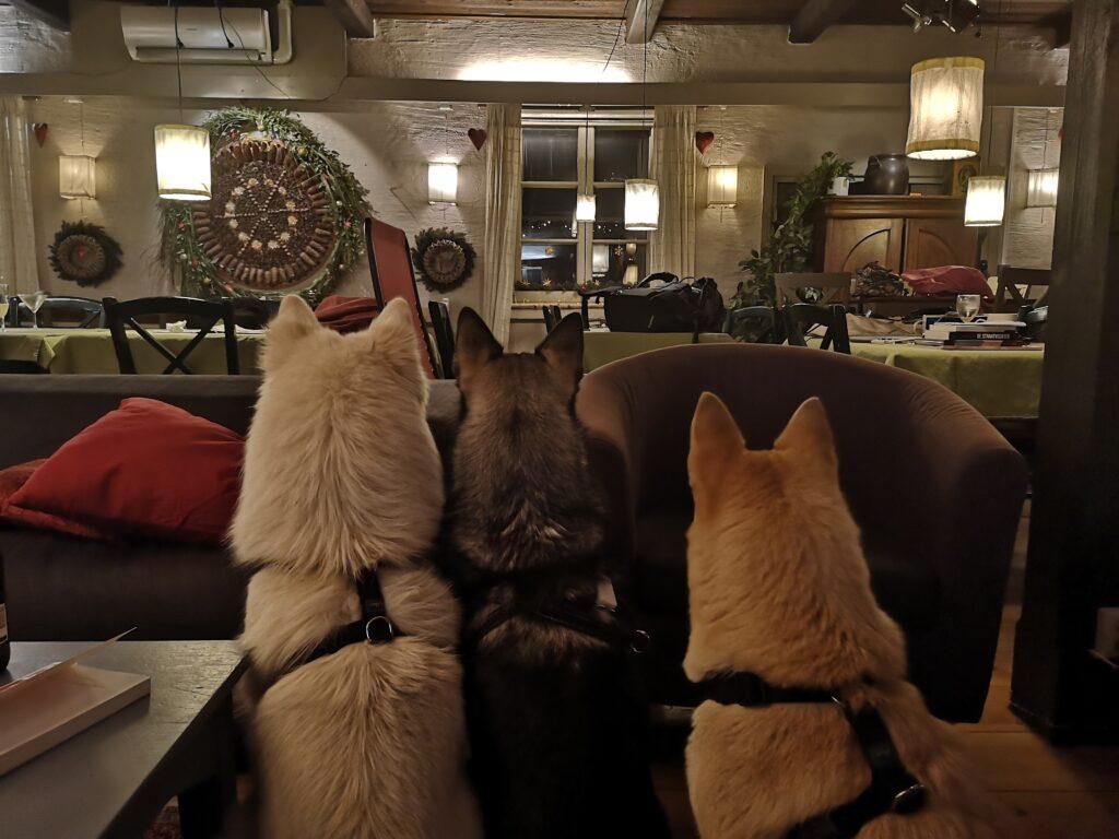 Hundarna tittar på fyrverkeri